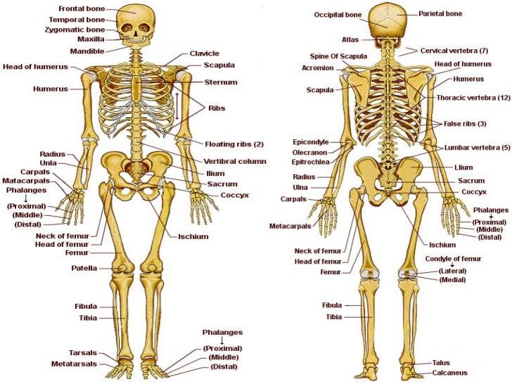 el esqueleto: EL ESQUELETO HUMANO