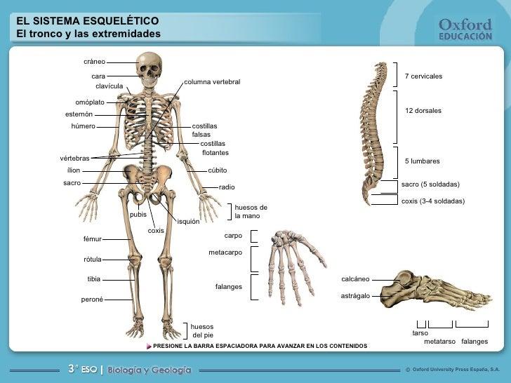 EL SISTEMA ESQUELÉTICO El tronco y las extremidades huesos  del pie carpo metacarpo falanges cráneo cara clavícula omóplat...
