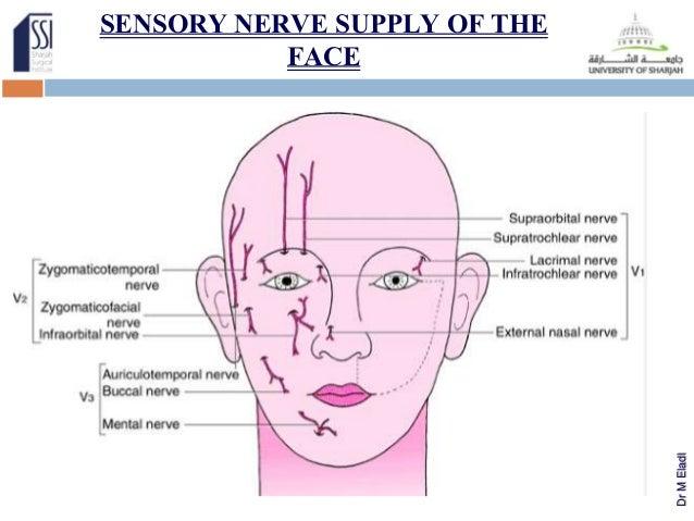 Facial nerves anatomy diagram