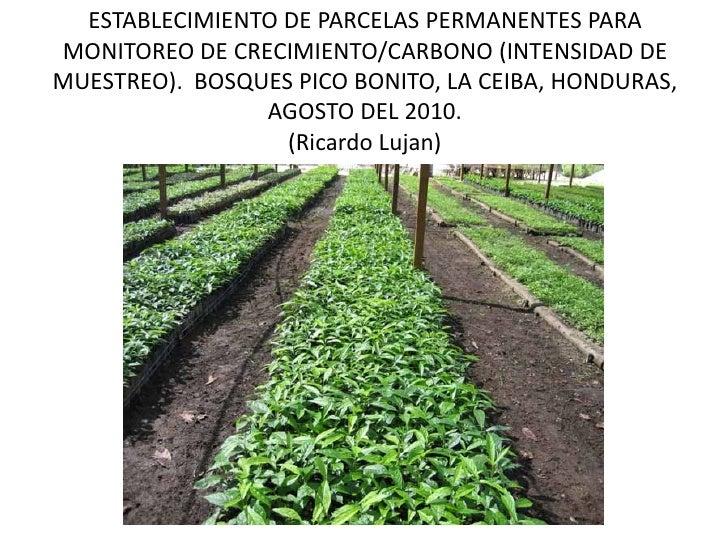 ESTABLECIMIENTO DE PARCELAS PERMANENTES PARAMONITOREO DE CRECIMIENTO/CARBONO (INTENSIDAD DEMUESTREO). BOSQUES PICO BONITO,...
