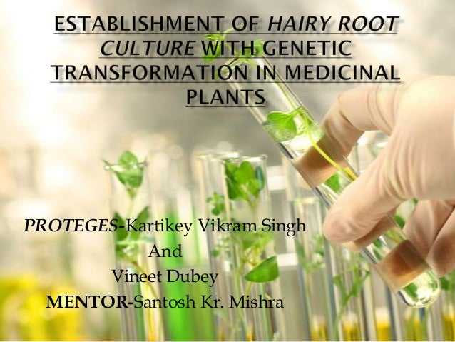 Establishment of hairy root culture with genetic transformation