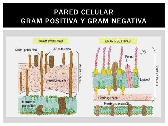 Estructura bacteriana for Pared y membrana celular
