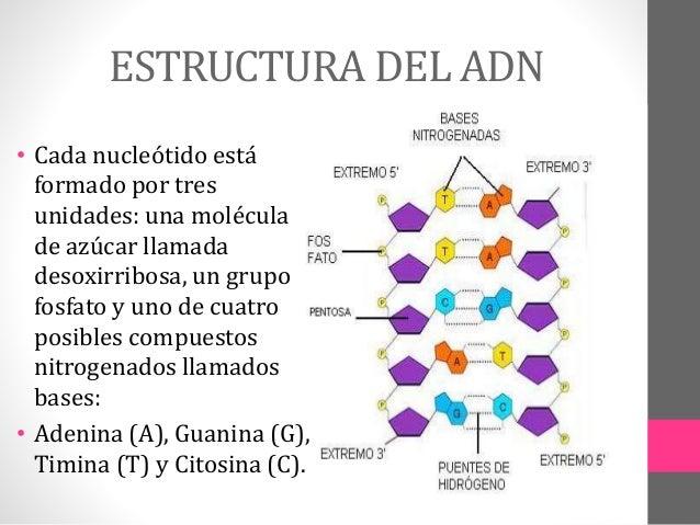 Estructura Del Adn Related Keywords & Suggestions - Estructura Del Adn ...