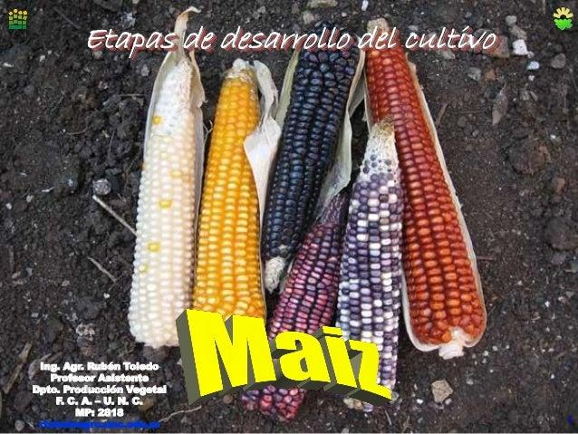 Etapas de desarrollo del cultivo  Ing. Agr. Rubén Toledo Profesor Asistente Dpto. Producción Vegetal F. C. A. – U. N. C. M...