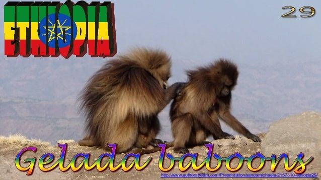 Simien Mountains, Gelada baboons