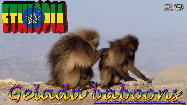Simien Mountains, Gelada baboons
