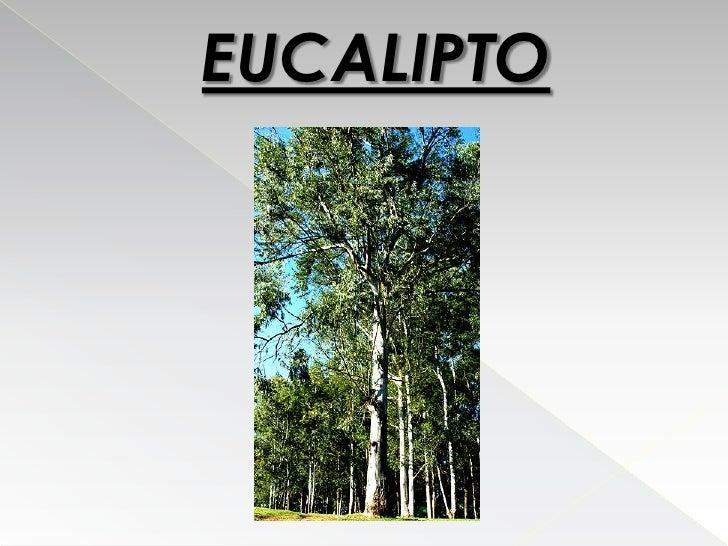 Eucalipto Filipe E Ricardo