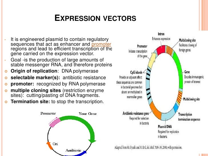 eukaryotic vectors for expression of proteins To synthesize a particular protein dna must first be transcribed into  protein  expression from each of these vectors is controlled by a different.