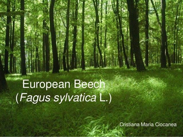 European Beech(Fagus sylvatica L.)                       Cristiana Maria Ciocanea