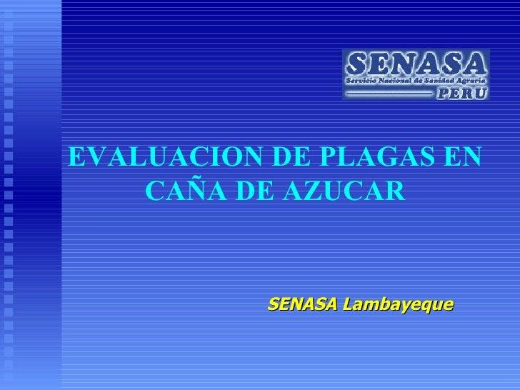 SENASA Lambayeque EVALUACION DE PLAGAS EN CAÑA DE AZUCAR