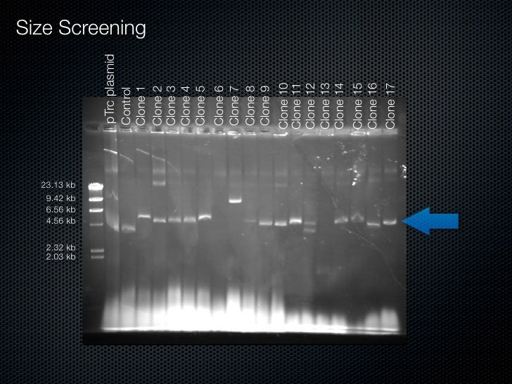 23.13 kb     2.03 kb 2.32 kb            4.56 kb            6.56 kb            9.42 kb                      pTrc plasmid   ...