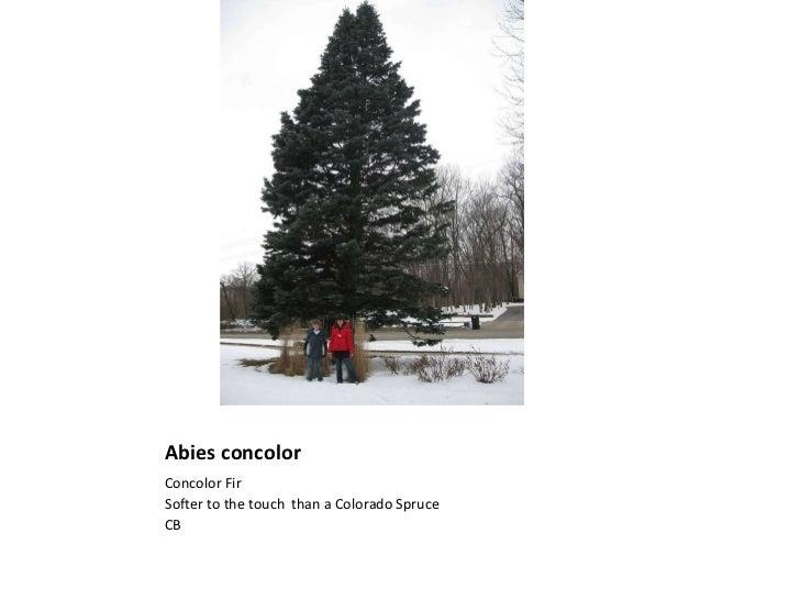 Abies concolor <ul><li>Concolor Fir </li></ul><ul><li>Softer to the touch  than a Colorado Spruce </li></ul><ul><li>CB </l...