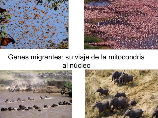 Genes migrantes: su viaje de la mitocondria al núcleo