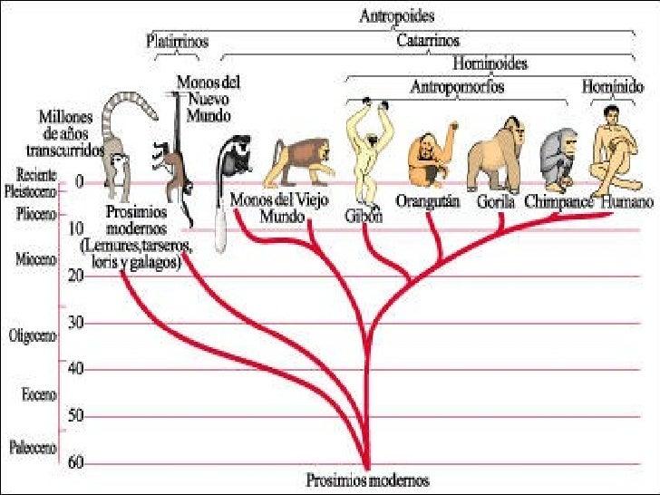 Evolucio Humans