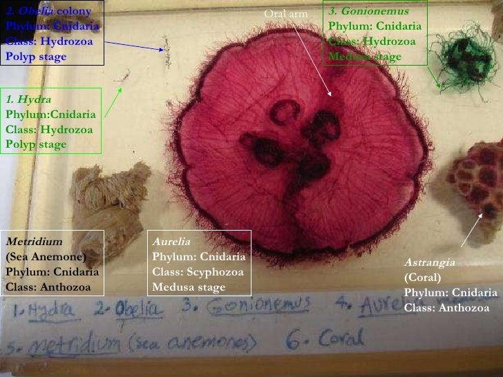 Class Hydrozoa And Class Anthozoa Cnidaria Class Hydrozoa
