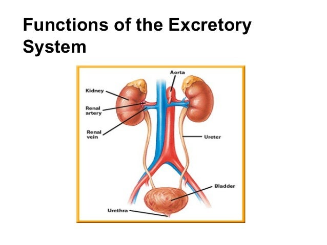 Functions of the ExcretorySystem