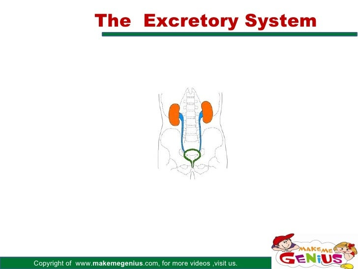 The Excretory SystemCopyright of www.makemegenius.com, for more videos ,visit us.