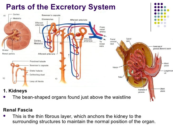the excretory system Synonyms for excretory at thesauruscom with free online thesaurus, antonyms, and definitions dictionary and word of the day.