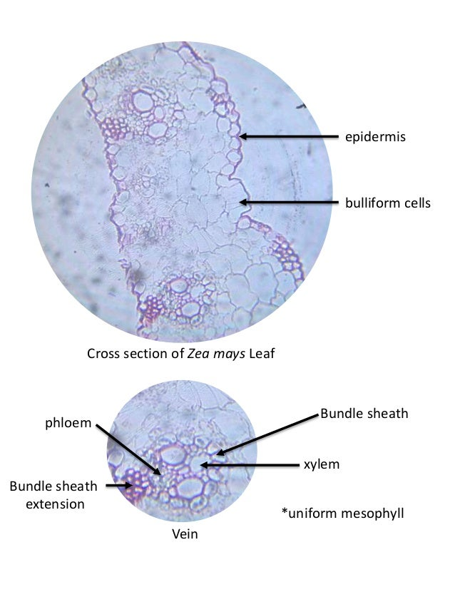 Nerium Oleander Leaf Cross Section