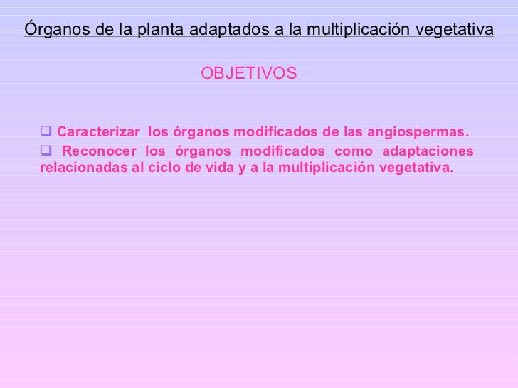 OBJETIVOS <ul><li>Caracterizar  los órganos modificados de las angiospermas. </li></ul><ul><li>Reconocer los órganos modif...