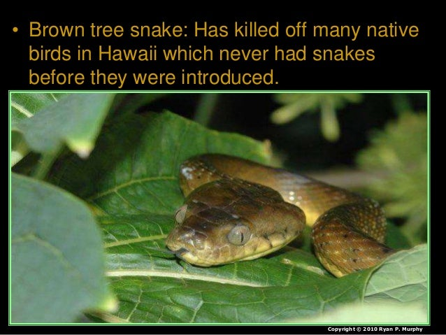 • Brown tree snake: Has killed off many native birds in Hawaii which never had snakes before they were introduced. Copyrig...