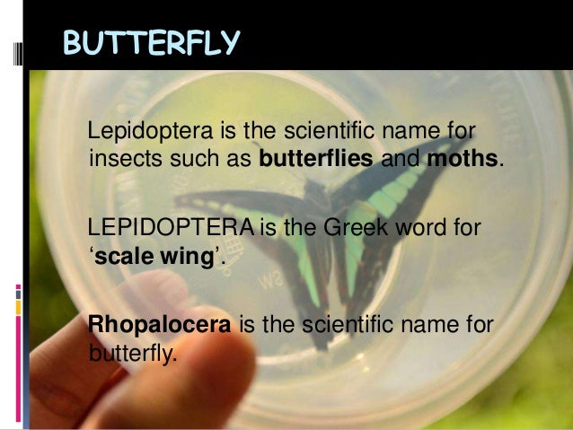 BUTTERFLYLepidoptera is the scientific name forinsects such as butterflies and moths.LEPIDOPTERA is the Greek word for'sca...
