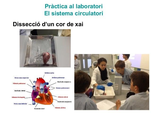 Pràctica al laboratori El sistema circulatori Dissecció d'un cor de xai