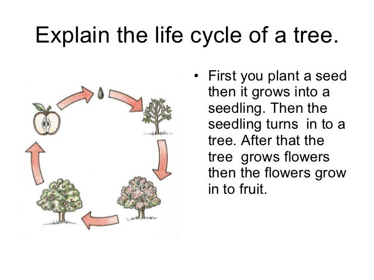 Explain the life cycle of a tree. <ul><li>First you plant a seed then it grows into a seedling. Then the seedling turns in...
