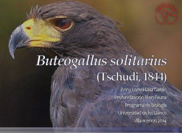 Orden: Accipitriformes Familia: Accipitridae Nombre científico: Buteogallus solitarius Citation: (Tschudi, 1844) Sinonimo ...