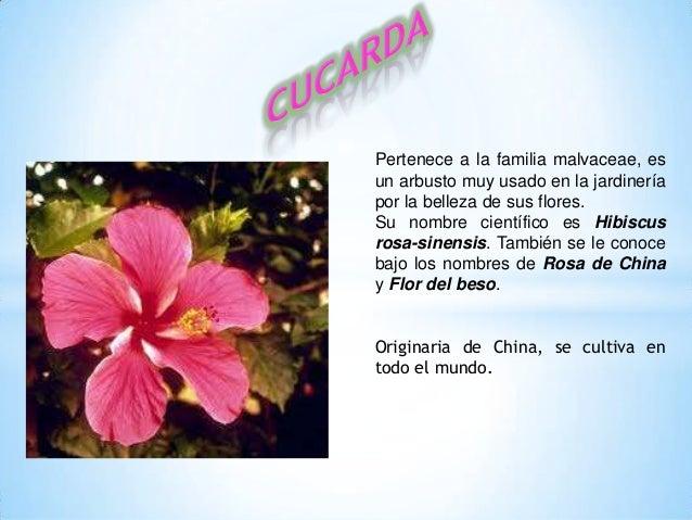 Pertenece a la familia malvaceae, esun arbusto muy usado en la jardineríapor la belleza de sus flores.Su nombre científico...