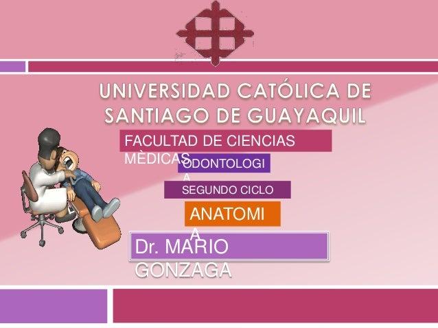 FACULTAD DE CIENCIASMÈDICAS      ODONTOLOGI      A      SEGUNDO CICLO       ANATOMI       A Dr. MARIO GONZAGA