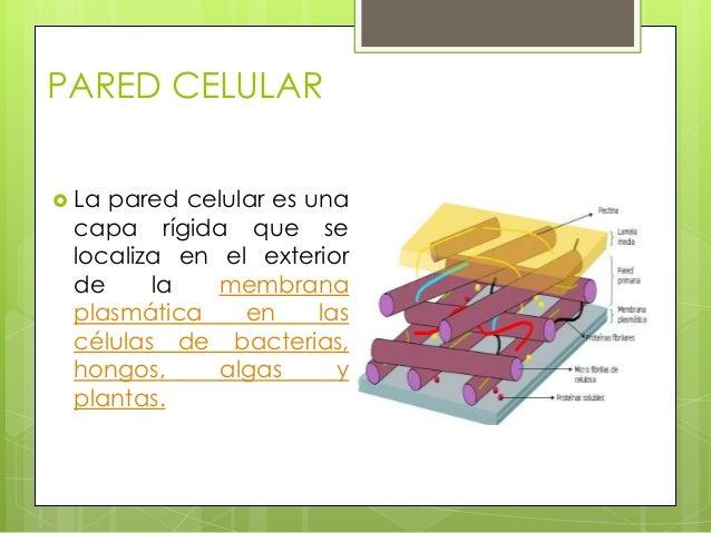 pared celular membrana y citoplasma