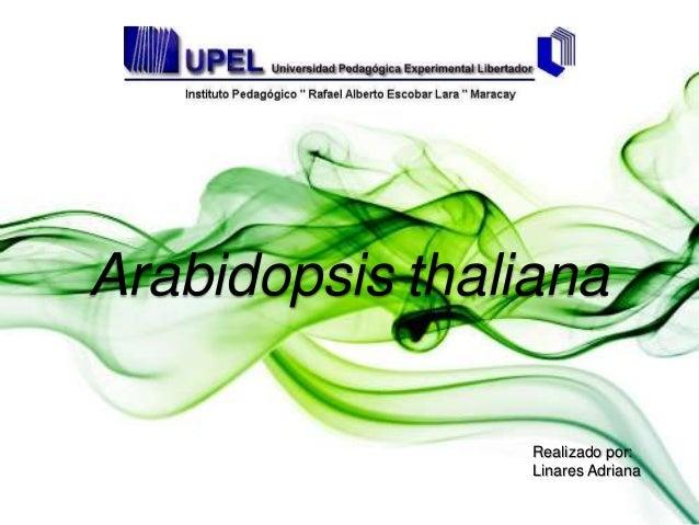 Arabidopsis thaliana Realizado por: Linares Adriana