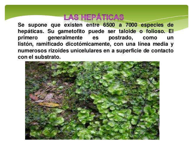 musgos, hepáticas y helechos