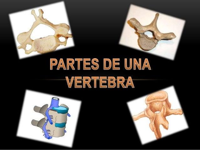 • Las vertebras consisten en cuero, arco y varias apófisis.  Es la porción anterior discoide gruesa en que se apoya el pe...
