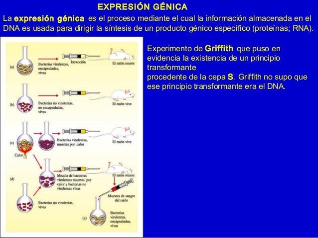 EXPRESIÓN GÉNICA La expresión génica es el proceso mediante el cual la información almacenada en el DNA es usada para diri...