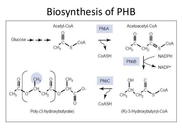 organism used to synthesise phb Iza k radecka studies  the properties of phb may be affected by the carbon source used in its production and this may  biofilms begin to synthesise.