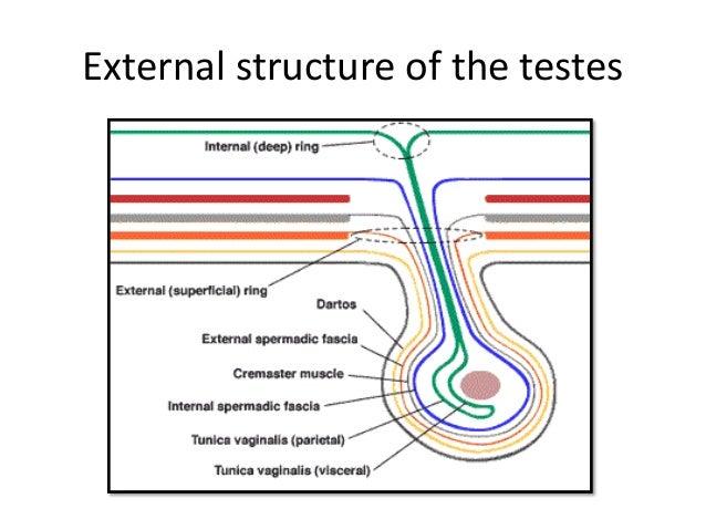 Testicular vascular anatomy