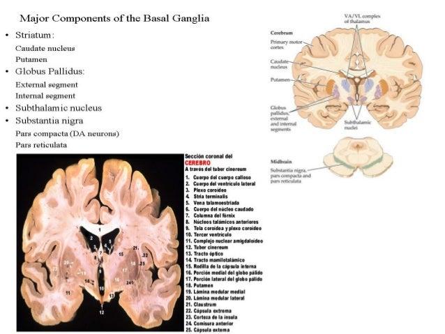 Circuito   GB             corteza cerebralestructuras subcorticales (Cerebelo y los Ganglios  Basales)información procesad...