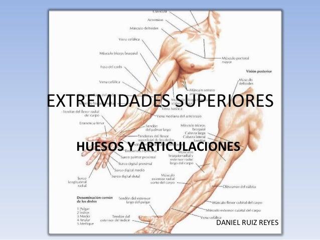 EXTREMIDADES SUPERIORES   HUESOS Y ARTICULACIONES.                       DANIEL RUIZ REYES
