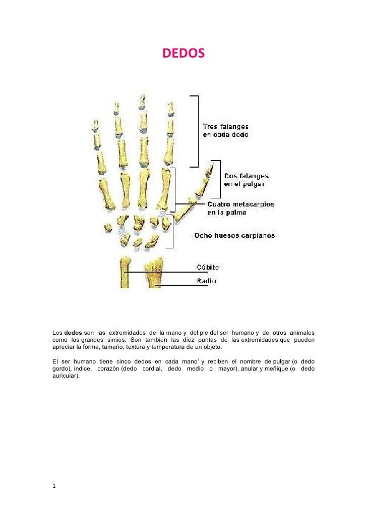 DEDOSLos dedos son las extremidades de la mano y del pie del ser humano y de otros animalescomo los grandes simios. Son ta...