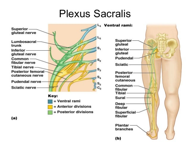 Plexus sacralis    Med-koM