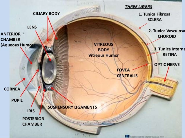 Eye Anatomy Model Labeled