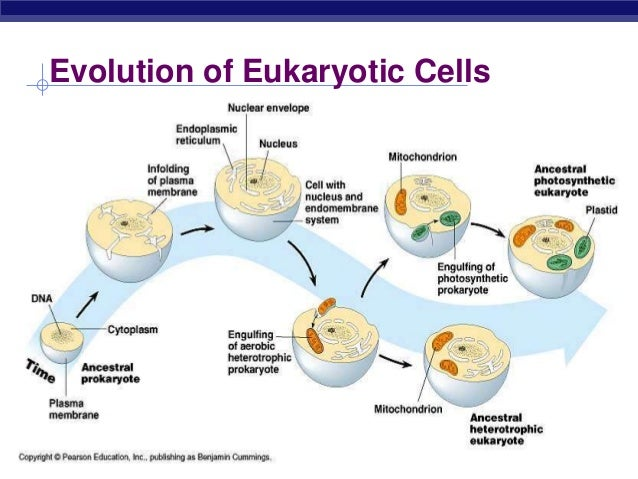 the evolutionary relationship between prokaryotic and eukaryotic cells Prokaryotic cells and eukaryotic cells both can contain a cell wall however in prokaryotic cells the cell wall is peptidoglycan (a mixture of sugar and protein) if the organism is a eubacteria, or pseudomurein if the organism is a archae bacteria whereas in eukarotic cells a cell wall is only present if the organism is a plant or a fungi and .
