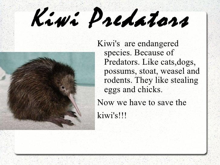 Kiwi Predators <ul><li>Kiwi's  are endangered species. Because of Predators. Like cats,dogs, possums, stoat, weasel and ro...
