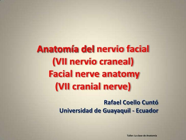 Anatomía del nervio facial   (VII nervio craneal)  Facial nerve anatomy    (VII cranial nerve)                    Rafael C...