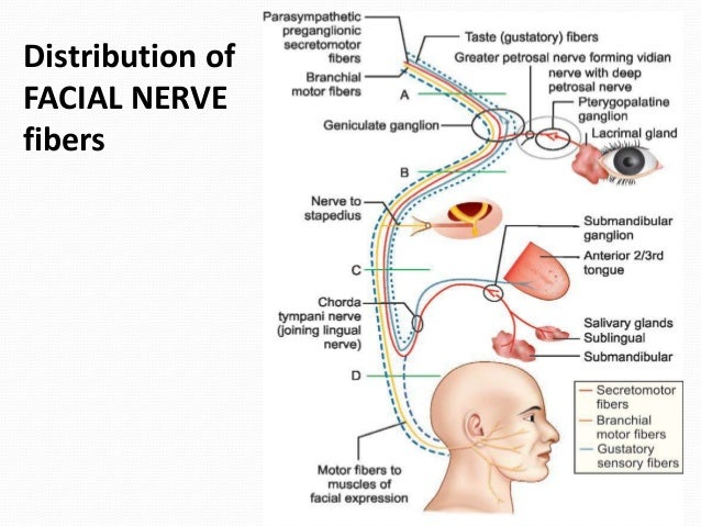 Facial nerve anatomy images