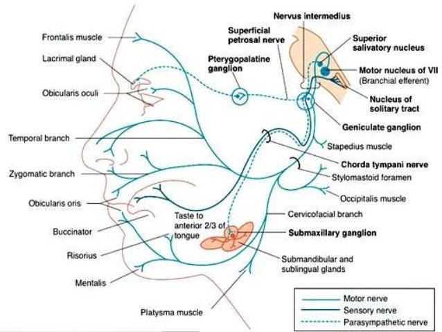 Facial Cranial Nerve 75