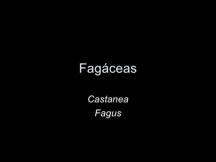 Fagáceas Castanea  Fagus