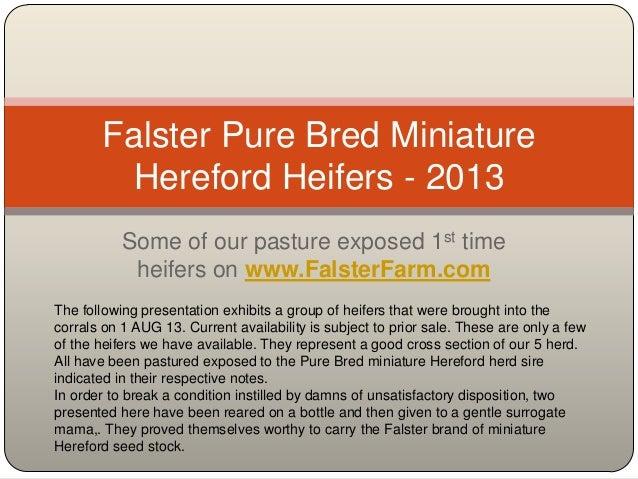Falster heifers   2013